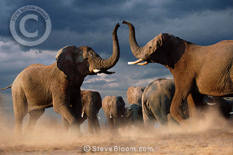 African elephants fighting, Savute, Botswana
