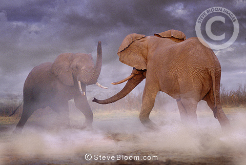 African elephants fighting, Botswana