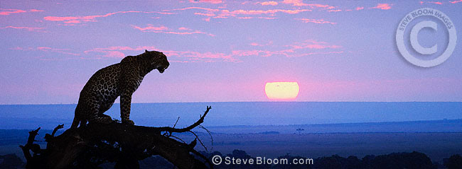 African leopard at sunset, Masai Mara, Kenya