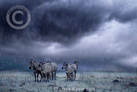 Zebras in the rain, Masai Mara, Kenya