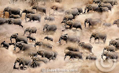 African elephant herd photographed from the air, Amboseli National Park, Kenya