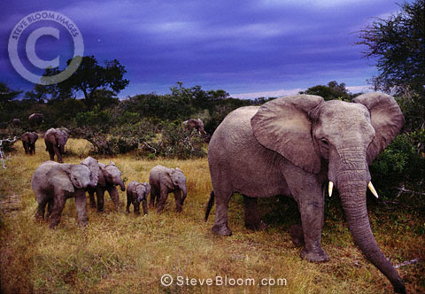 African elephant family at dusk, Sabie Sands, South Africa.
