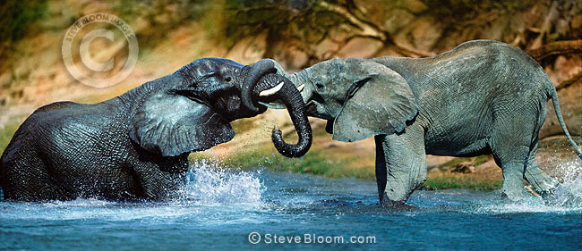 African elephants sparring in the water, Chobe River, Botswana
