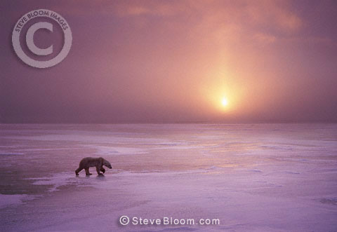 Polar bear at sunset, Cape Churchill, Manitoba, Canada.