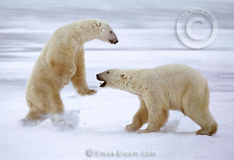 Polar bears sparring, Cape Churchill, Manitoba, Canada