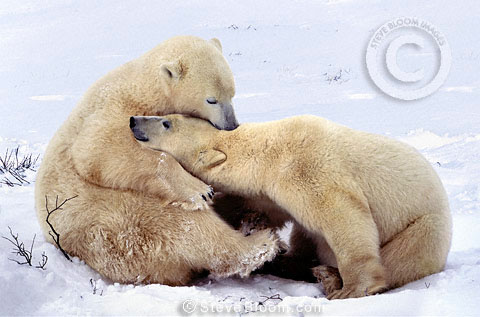 Polar bears nuzzling,  Cape Churchill, Manitoba, Canada