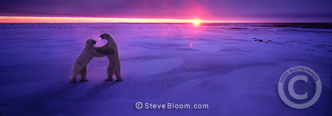 Polar bears fighting at sunset, Cape Churchill, Manitoba, Canada