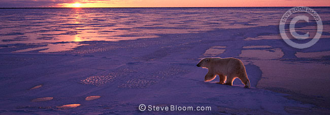 Polar bear walking on ice, Cape Churchill, Manitoba, Canada