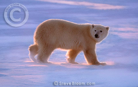 Polar bear walking on frozen lake, Cape Churchill, Manitoba, Canada
