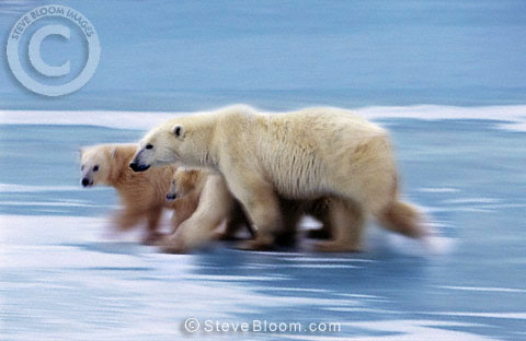 Polar bear mother and cubs, Cape Churchill, Manitoba, Canada.