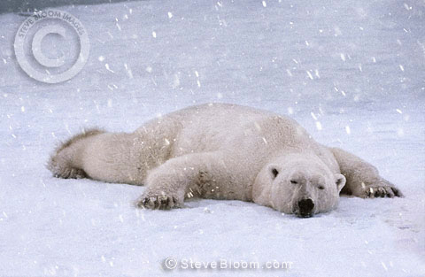 Polar bear sleeping in the snow, Cape Churchill, Manitoba, Canada.
