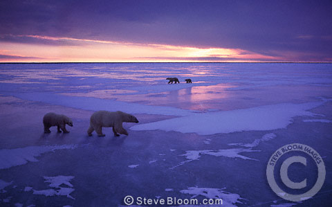Two polar bear families walking on ice, Cape Churchill, Manitoba, Canada