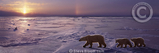 Polar bear mother and twin cubs walking on ice, Cape Churchill, Manitoba, Canada