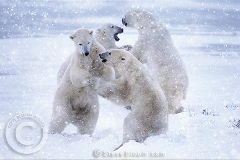 Two pairs of polar bears sparring in the snow, Cape Churchill, Manitoba, Canada