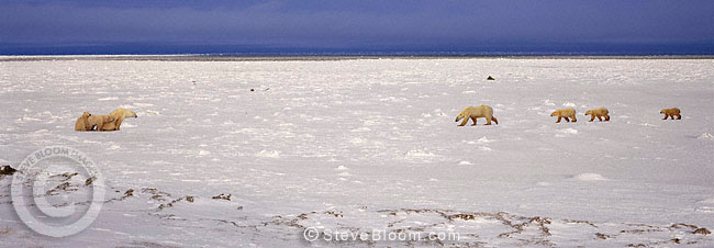 Two polar bear families, Cape Churchill, Manitoba, Canada