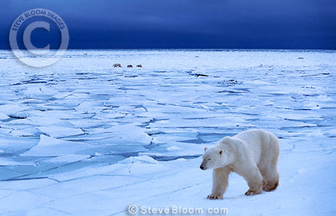 Polar bears walking on ice, Cape Churchill, Manitoba, Canada