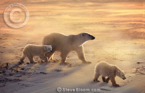 Polar bear mother and cubs in the snow and wind, Cape Churchill, Manitoba, Canada