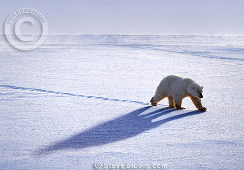 Polar bear walking, Cape Churchill, Manitoba, Canada