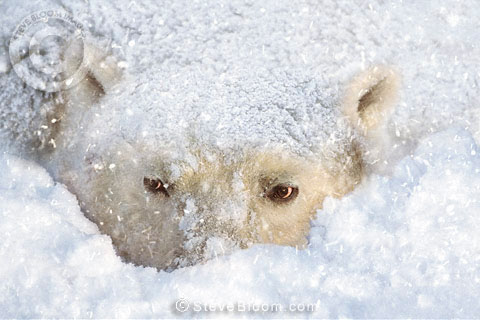 Polar bear in the snow, Cape Churchill, Manitoba, Canada