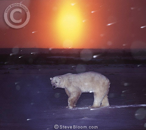 Polar bear in the evening, Cape  Churchill, Manitoba, Canada