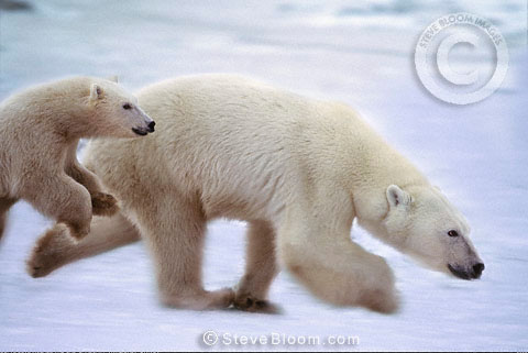 Polar bear mother and cub, Cape Churchill, Manitoba, Canada