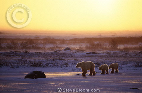 Polar bear mother and cubs, Cape Churchill, Manitoba, Canada