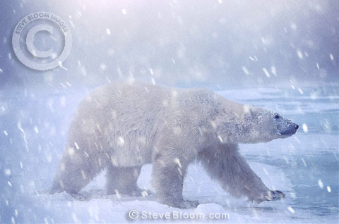 Polar bear walking in the snow, Cape Churchill, Manitoba, Canada