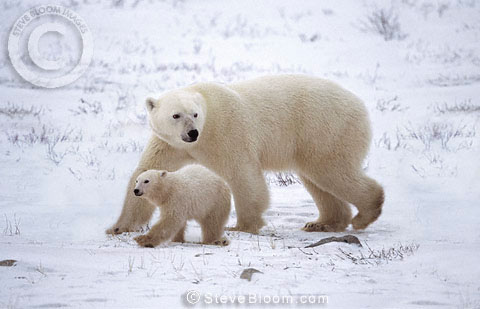 Polar bear mother and cub, Churchill, Manitoba, Canada