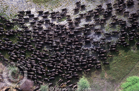 African Buffalo herd from the air, Okavango, Botswana