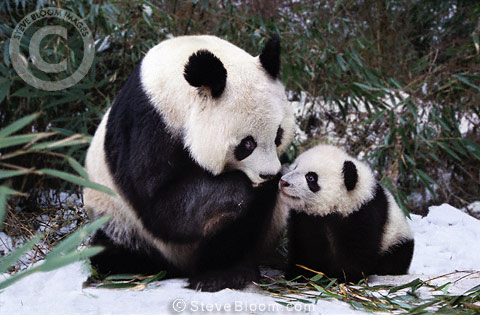 Mother and baby panda, Sichuan, China