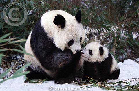 Newborn panda and mom - photo#18