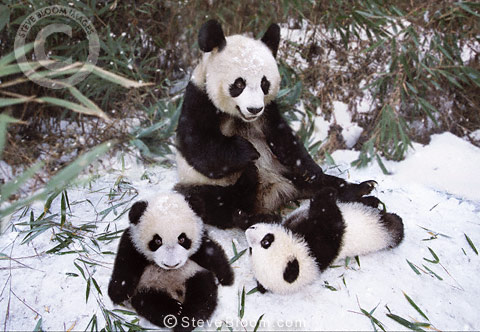 Panda mother and twin cubs in the snow, Sichuan, China