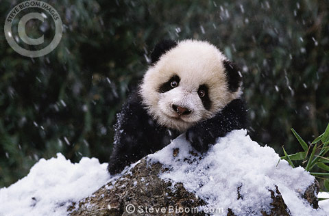 Giant panda in the snow, Sichuan, China