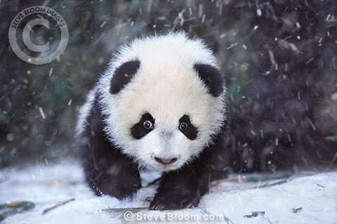 Baby panda in the snow, Sichuan, China