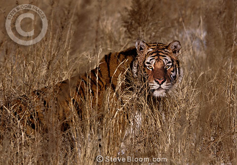 Siberian Tiger in long grass, China