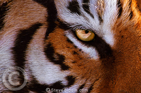 Close-up of eye of Siberian Tiger, China