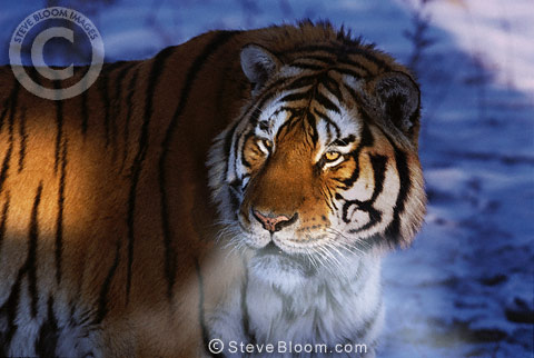 Siberian tiger in the later afternoon, China