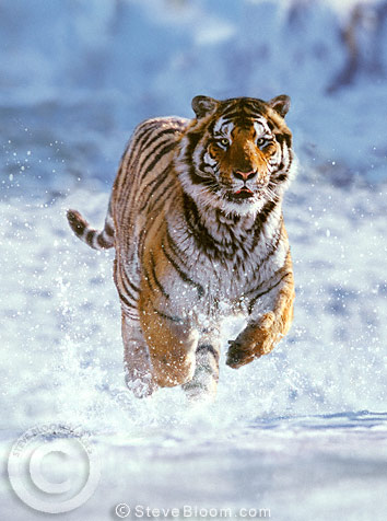 Siberian tiger running in the snow, China