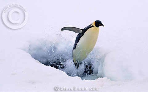 Emperor penguin exciting seal, Kloa EP Rookery, Antarctica