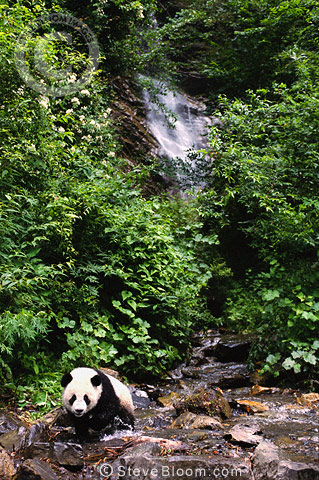 Giant Pandas walking in river, Sichuan Province, China.