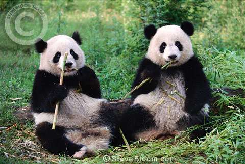 Giant Pandas eating bamboo, Sichuan Province, China.