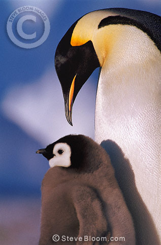 Emperor penguin and chick, Atka Bay EP rookery, Weddell Sea, Antarctica