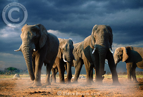 African elephants with storm clouds, Savute, Botswana