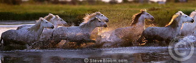 White horses of the Camargue running through water, France
