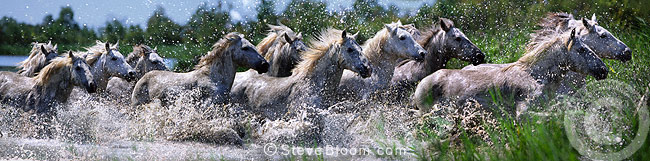Camargue horses running through water, France