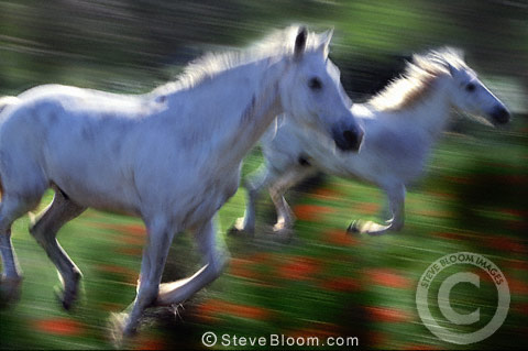 Camargue horses running in a poppy field, France