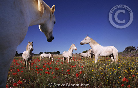 Camargue horses in a poppy field, France