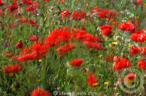 Red poppies in a field, Camargue, France