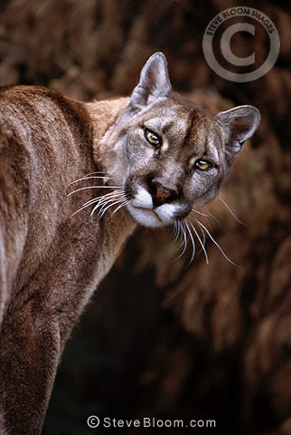 Puma (Mountain lion) (captive)