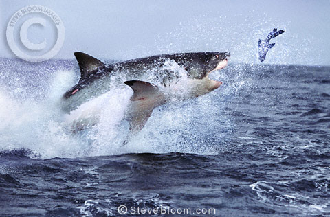 Great white shark hunting seal, South Africa